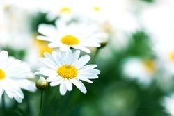 beautiful flower white daisy in garden