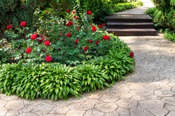 Beautiful flowerbed with blossoming red roses bushes and hosta flowers and juniper green coniferous bush against coniferous thuja on background and paved path in garden outdoors. Spring nature bloom