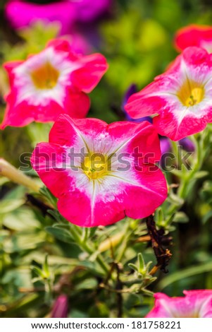 Beautiful flowerbed with bright pink petunia in the garden.