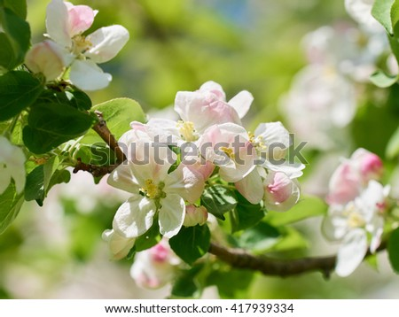 beautiful flowering apple trees. background with blooming flowers in spring day.  #417939334