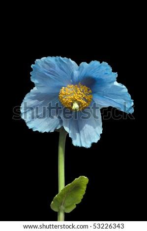 Himalayan Blue Poppy Bouquet Beautiful Flowering Hi...