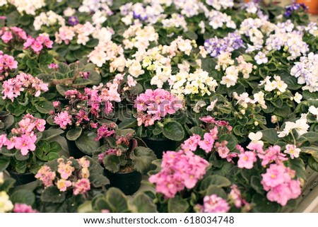 Beautiful flowering houseplants flowers in the greenhouse in the beautiful flowering houseplants flowers in the greenhouse in the spring colorful violets mightylinksfo