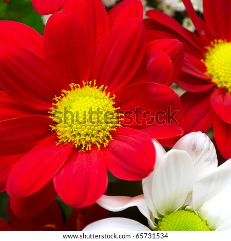 Beautiful flowers background with red and white chrysanthemum