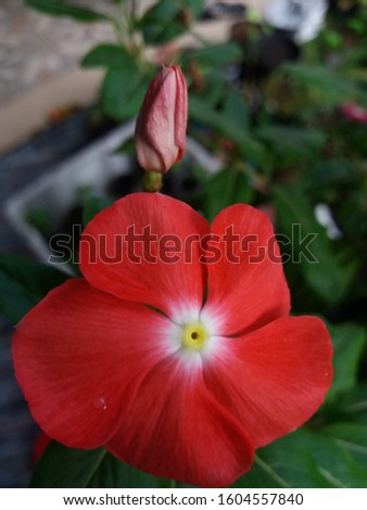 Beautiful flowers bloom in the garden. make people who see it happy and happy. The red color that gives spirit makes life more meaningful. by seeing this flower