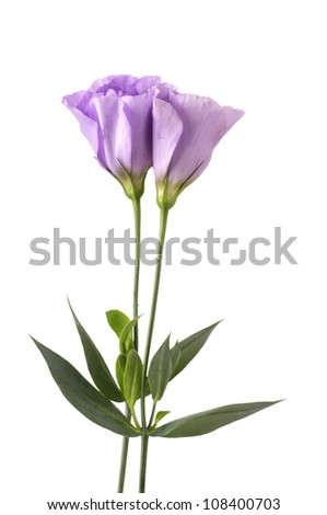 Beautiful flowers campanula isolated
