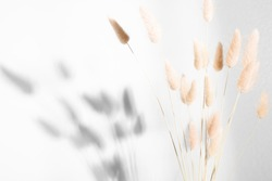 Beautiful flowers composition. Dry rabbit tail flower against white wall with hard shadows. Floral minimal home interior design concept.