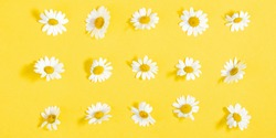 Beautiful flowers composition. Pattern of white daisy. Chamomile on yellow background. Summer flowers concept. Flat lay, top view, copy space