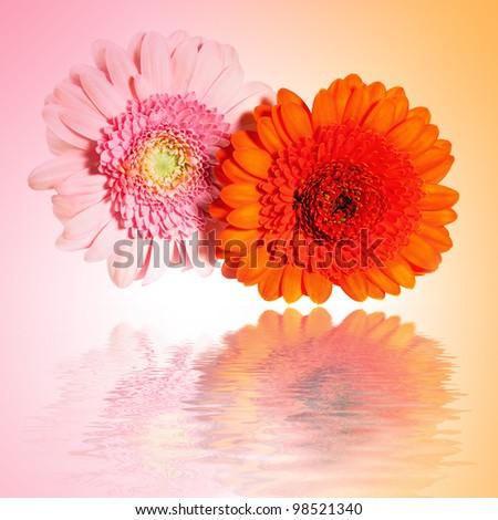 Beautiful flowers gerbera, reflection in water waves