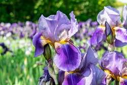 Beautiful flowers in the summer garden. Purple iris with a yellow core.  Bearded iris (Iris Germanica) macro on a background of bright green leaves and flowers.