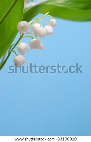 Beautiful flowers lily of the valley under the green leaves on a blue background