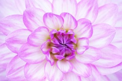 Beautiful flowers macro abstract art background. Flower light pink dahlias in nature