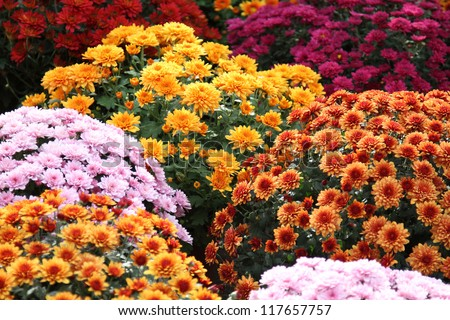 Beautiful flowers of chrysanthemums