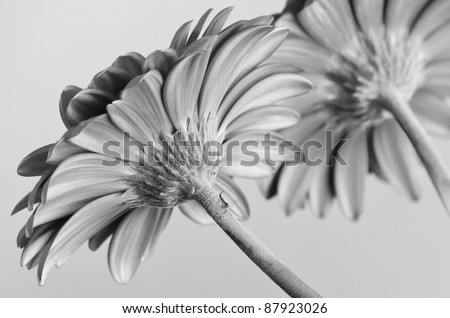 Stock Photo Beautiful flowers of Gerber Daisy with selective focus on grey background