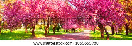 Beautiful flowers of Japanese cherry cherry bloomed in the city garden of Uzhgorod and Mukachevo. Delicate petals shine among the branches and are a symbol of Transcarpathia