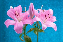 Beautiful flowers of lillies on colored background background.