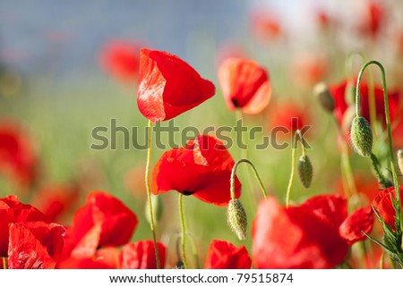 Beautiful flowers of red poppy on a blurred background