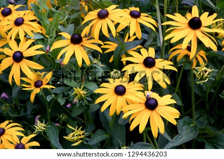 Beautiful flowers of rudbeckia