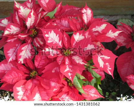 Beautiful flowers of the five-petal red-white petals of 2011 #1431381062