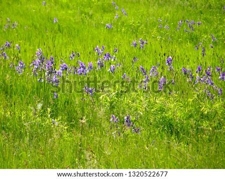 Beautiful flowers of wild irises.