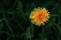 Beautiful flowers of yellow dandelions growing on the green meadow in sunny warm summer or spring day. Natural floral yellow background. Beauty of nature. Dandelion flower in sunlight. Selective focus