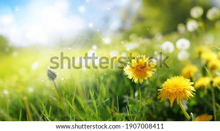 Beautiful flowers of yellow dandelions in nature in warm summer or spring on meadow against blue sky, macro. Dreamy artistic image of beauty of environment.