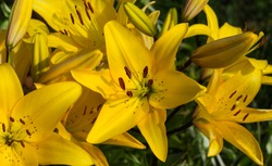 Beautiful flowers of yellow lilies. Can be used as background