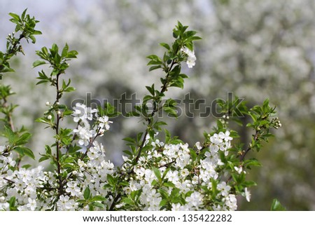 beautiful flowers on a fruit tree - stock photo