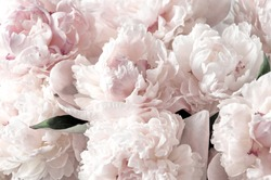 Beautiful flowers, peonies. Bouquet of white peony.