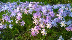 Beautiful flowers Phlox subulata in the garden. Emerald Cushion Blue. Lavender purple color. Carpet of colour during spring. Gardening background. Evergreen foliage. Floral cultivars, selection.