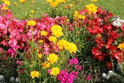 Beautiful flowers red begonia and yellow carnations are planted in the flowerbed