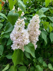 Beautiful flowers white lilac bloom in spring in the garden