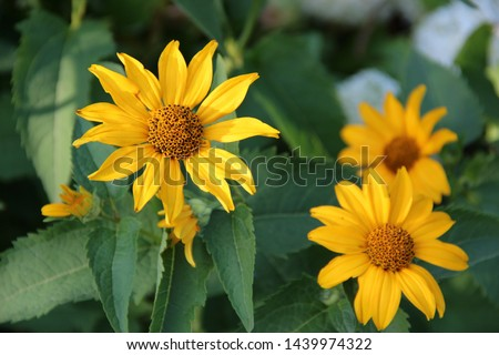 Beautiful flowers: yellow Echinacea in the bright rays of the sun. Beautiful floral landscape.  Natural macro background. Hd wallpaper flowers nature wallpapers for desktop backgrounds.