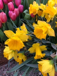 Beautiful flowers Yellow Narcissus and pink tulips