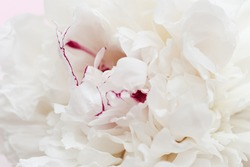 Beautiful flowery from white pink petals of peony. Tender summer flower close up. Natural environment design wallpaper or screensaver for screen.