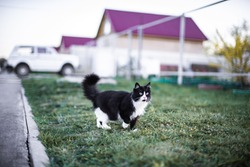 Beautiful fluffy black- and- white cat, with green eyes and a long mustache, walks on the grass, along the residential quarter. Walking by itself. The animal looks away curiously and intently. Hunts.