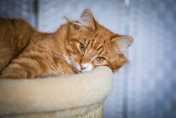 Beautiful fluffy calm young yellow eyed cat, red and orange stripe fur, laying on the cat bed, looking straight, plain light background