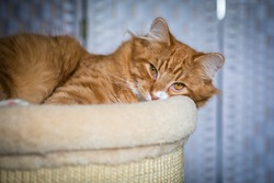 Beautiful fluffy calm young yellow eyed cat, red and orange stripe fur, laying on the cat bed, looking straight, plain blurred background
