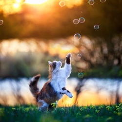 beautiful fluffy cat jumps and catches soap bubbles with its paws and claws on a summer blooming meadow in the light of warm sunlight