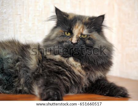 Beautiful fluffy cat tortoiseshell #651660517