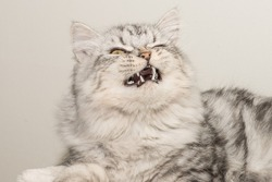 Beautiful, fluffy, grey, Persian cat's face close up while yawning with details of teeth.