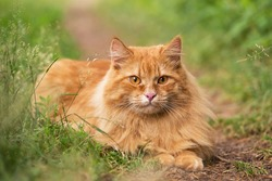 Beautiful fluffy red orange cat lie in green grass outdoors in garden in nature