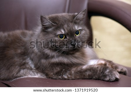 beautiful fluffy smoky cat lying on a leather chair #1371919520