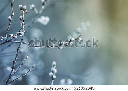 beautiful fluffy sprig of willow blossomed in early spring