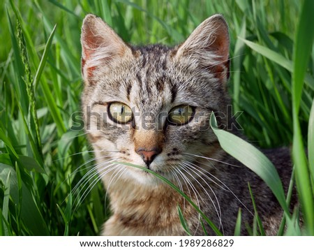 Beautiful fluffy tabby cat in grass. Close up potrtrait.  Stock photo ©