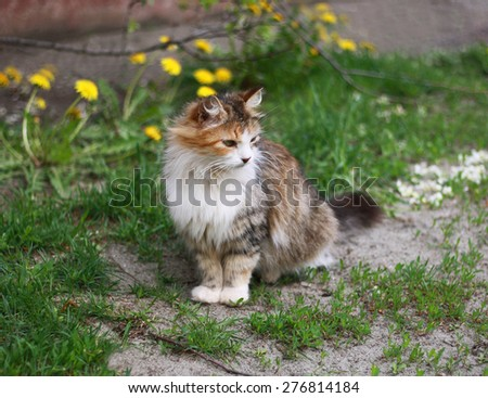 Beautiful fluffy tricolor cat among the dandelions and grass