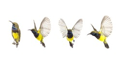 Beautiful flying Bird (Olive-backed Sunbird) isolate on White Background. The Collection Birds
