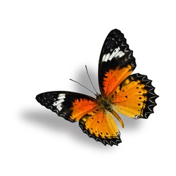 Beautiful Flying Leopard Lacewing Butterfly with soft shadow beneath on white background