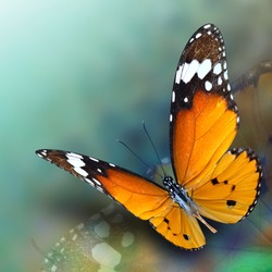 Beautiful flying Plain Tiger butterfly with soft shadow on blur green and blue background, exotic nature
