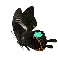 Beautiful flying velvet green butterfly, Paris Peacock (Papilio paris) with fully wings sweeping isolated on white background, exotic animal