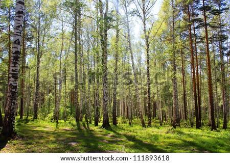 Beautiful  forest background illuminated by sun